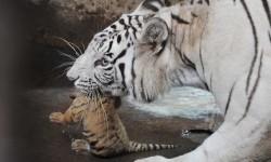 Harimau Bengal Lahirkan Harimau Putih Langka