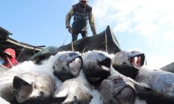 Manado Buka Akses Ekspor Ikan ke Jepang