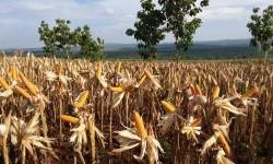 Gorontalo Utara Targetkan Peningkatan Produksi Jagung
