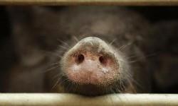Roma Diserbu Puluhan Babi Hutan