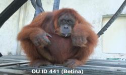 BKSDA Lepasliar Dua Individu Orangutan Sumatera di Jantho