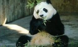Banyak Satwa Liar Hilang di Area Konservasi Panda