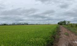 Riau Siapkan 30 Ribu Hektar Lahan untuk Food Estate