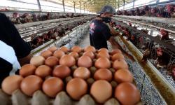 Hari Ini, Para Peternak Bagikan Ayam dan Telur Gratis