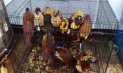 KLHK Tetapkan AS, Tersangka Penyelundupan Burung Dilindungi