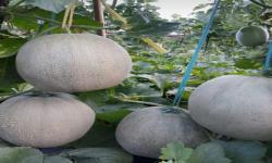 Awal Puasa, Petani di Selatan Sukabumi Panen Buah