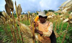 GPMT: Kecupukan Jagung untuk Industri Pakan Turun