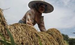Produksi Pertanian Purwakarta Surplus dengan Gowah