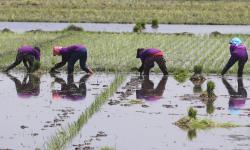 Faktor Cuaca Jadi Pendukung Peningkatan Produksi Beras