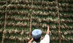 Bawang Sayur Jaga Ekonomi Petani Kediri di Masa Pandemi