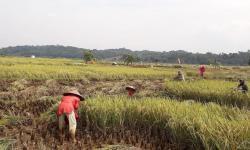 Petani Minahasa Targetkan Panen Padi Sebanyak 5.621 Ton GKP