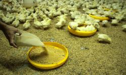 Kemendag Bakal Terbitkan Regulasi untuk Penyediaan Jagung
