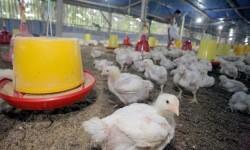 Peternak Blitar akan Bagikan Ayam dan Telur Gratis