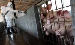 Ekspor Babi Kepri ke Singapura Meningkat di Tengah Covid-19