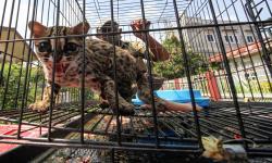 In Picture: Pelepasanliaran Kucing Hutan di Aceh Utara