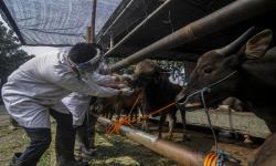 Distan Semarang Perketat Pemeriksaan Kesehatan Hewan Qurban