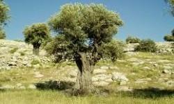 Israel Hancurkan Lebih dari 140 Pohon Zaitun Milik Palestina