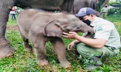 Lucunya Pulisia, Gajah yang Baru Lahir di Taman Safari