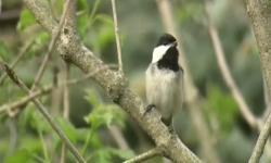 Dampak Pembatasan Sosial pada Perilaku Burung di Perkotaan
