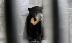 Beruang Madu Masuk Perangkap BKSDA Resor Limapuluh Kota