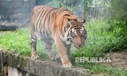 Kaki Kanan Harimau Sumatra di Riau Terancam Diamputasi
