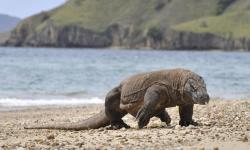 Kisah Komodo di Pulau Rinca