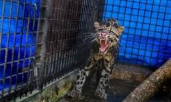 BKSDA Amankan Macan Dahan Usai Mangsa Kambing Warga