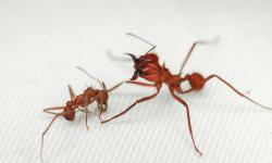 Ilmuwan Ungkap Rahasia Pelindung Tubuh Semut Pemotong Daun