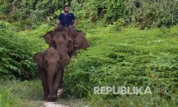 In Picture: Populasi Gajah Sumatera Bertambah Menjadi 693 Ekor