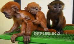 In Picture: BKSDA Banten Selamatkan Tiga Ekor Lutung Jawa