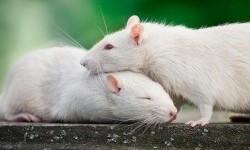 Ilmuwan Amati Sejuta Neuron Secara Bersamaan di Otak Tikus