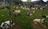 [ilustrasi] Peternak menjajakan domba miliknya di Cikurubuk, Kota Tasikmalaya, Jawa Barat, Kamis (10/8).