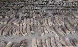 Singapura Cegah Penyelundupan Gading Gajah Afrika Seberat Total 8,8 Ton