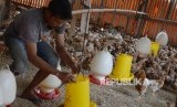 Peternak memberi makan ayam petelur di Cilodong, Depok, Jawa Barat, Jumat (28/6).