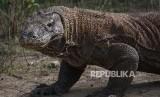 Komodo berada di habitat aslinya di Pulau Komodo, Taman Nasional Komodo, Nusa Tenggara Timur.
