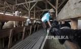 Peternak memberi pakan domba dan kambing di peternakan domba MT Farm binaan Mandiri Syariah di Bogor, Jawa Barat, Rabu (26/6).