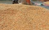 Seorang warga mengumpulkan jagung pakan ternak setelah proses penjemuran di Desa Pasi Timon, Teunom, Aceh Jaya, Aceh, Sabtu (17/2).