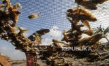Pekerja mengangkut ikan jenis Kresek kualitas ekspor dalam proses pengeringan, (ilustrasi). Ekspor hasil perikanan sebagai salah satu bentuk menjaga geliat ekonomi di tengah pandemi corona.