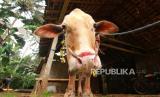 Sapi kurban yang dirias di Papring, Banyuwangi, Jawa Timur, Jumat (31/7/2020).  Tradisi merias hewan kurban itu telah dilakukan secata turun-temurun sebagai bentuk simbol-simbol doa untuk yang berkurban dan hewan yang dikurbankan agar dalam kondisi baik.