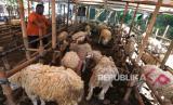 Penjual hewan qurban memberikan makanan domba di Yogyakarta, Ahad (26/7). Menurut pedagang permintaan domba qurban menurun dibandingkan tahun lalu. Domba untuk persiapan hari raya qurban juga sedikit. Domba qurban dijual mulai harga Rp 1,8 juta hingga Rp 5 juta tergantung ukuran.