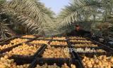 Seorang petani mengatur kurma yang dipanen