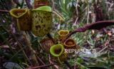 Aroma Pandan Hebohkan Bengkulu, BKSDA Ungkap Sumbernya