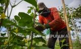 Seorang petani mengikat tanaman sayurnya ke tiang penopang. Ilustrasi