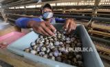 Pekerja mengumpulkan telur puyuh dari kandang di Desa Paron, Kediri, Jawa Timur, Kamis (9/4/2020). Peternak mengaku merugi karena kesulitan memasarkan telur puyuh yang harga jualnya terus merosot dari normalnya Rp23 ribu menjadi Rp18 ribu per kilogram karena berkurangnya permintaan akibat pandemi COVID-19 dan diperparah dengan naiknya harga pakan.