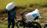 Sejumlah buruh mengangkut padi menggunakan sepeda motor di areal persawahan Desa Bulakpacing, Kabupaten Tegal, Jawa Tengah, Kamis (16/7/2020). Kementerian Pertanian menargetkan luas tanam di musim tanam kedua (MT-II) tahun ini atau pada periode April-September 2020 bisa mencapai 5,6 juta hektare dan diperkirakan produksi beras yang dihasilkan bisa mencapai 12,5 juta hingga 15 juta ton.