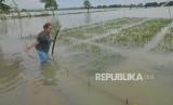 Petani memeriksa kondisi tanaman padi yang terendam banjir di Desa Kedungbanteng, Karanganyar, Demak, Jawa Tengah, Rabu (15/11).
