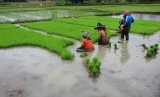 Sejumlah petani mempersiapkan bibit padi untuk ditanam di area persawahan.