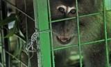 Seekor monyet ekor panjang (Macaca Fascicuralis) diamankan petugas Balai Konservasi Sumber Daya Alam (BKSDA). Warga Desa Cibeureum, Jawa Barat, resah karena rumah dan lahan pertaniannya dirusak kawanan monyet ekor panjang.