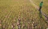Petani berada di areal sawah miliknya yang kekeringan di Desa Pegagan, Kecamatan Terisi, Indramayu, Jawa Barat, Senin (15/7/2019).
