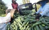 Tengkulak menata timun usai dipetik. Pemerintah Provinsi Banten berencana membentuk BUMD agrobisnis untuk melawan praktik tengkulak di Banten.